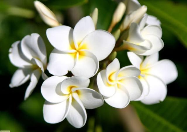 Mẹo chữa viêm xoang bằng hoa sứ 1