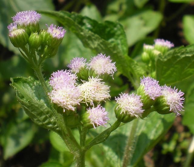1. Mẹo chữa viêm xoang bằng cây Hoa ngũ sắc: 1