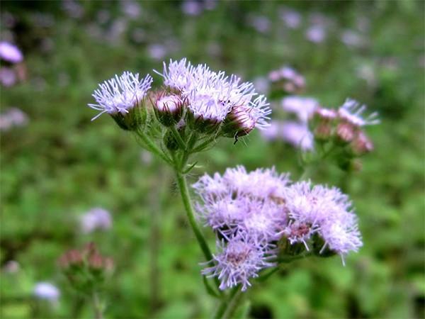 Công dụng của hoa ngũ sắc chữa bệnh viêm xoang 1