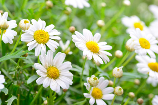 Tác dụng của hoa cúc 1